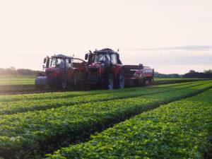 Radish farming in Norfolk, East of England